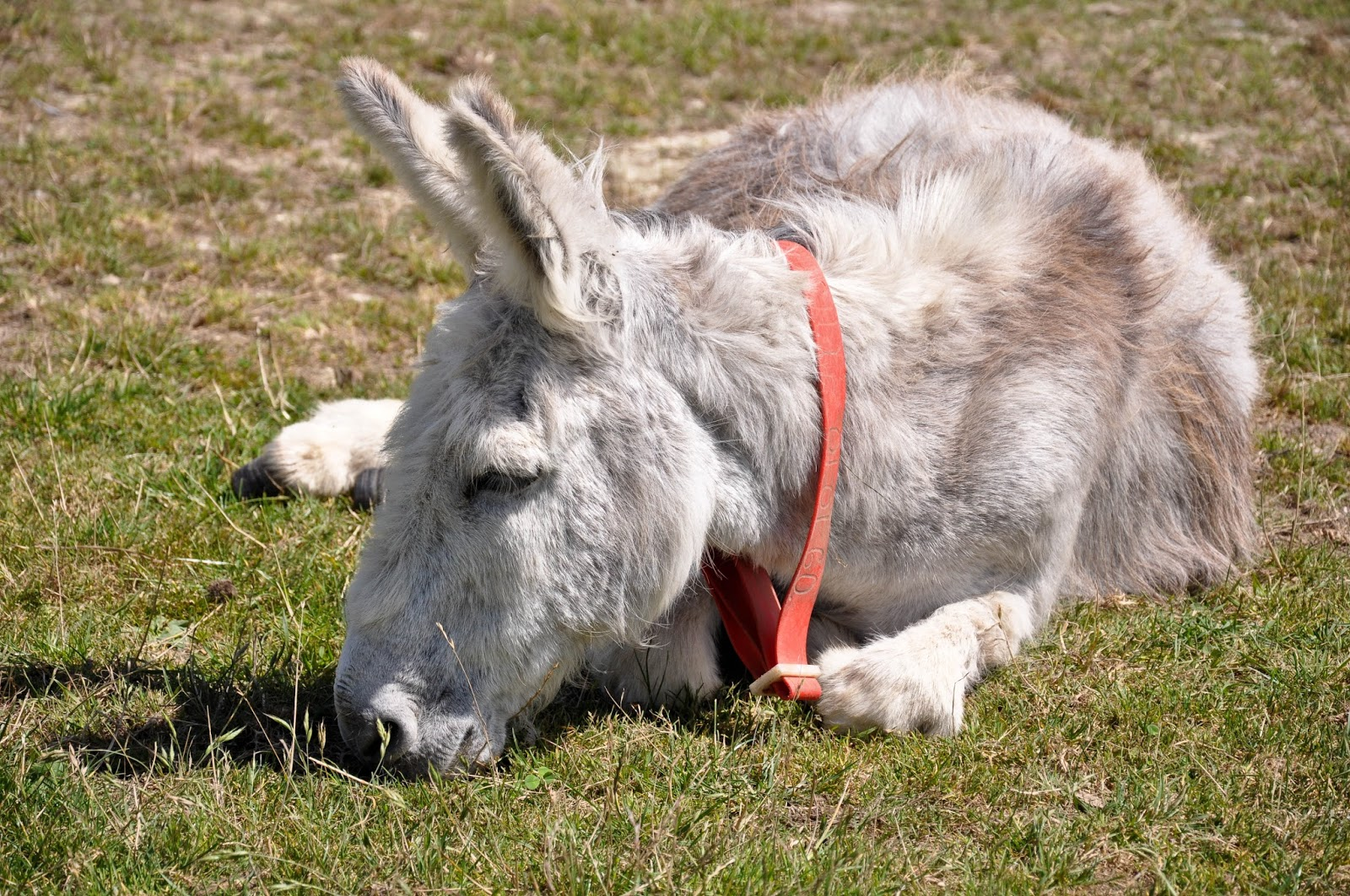 Relaxing donkey, The Donkey Sanctuary, Isle of Wight, UK
