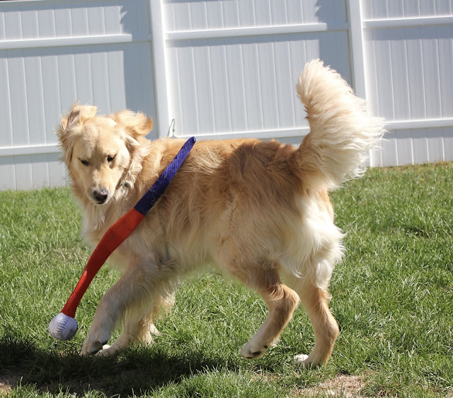 golden retriever dog playing baseball