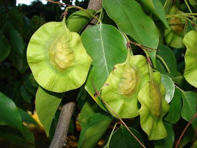 Pterocarpus indica