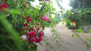 hình ảnh hoa hồng leo tầm xuân đỏ