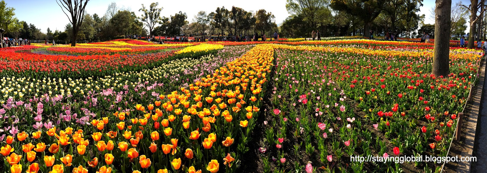 A Japanese Life: Tulips at Kiso Sansen Koen