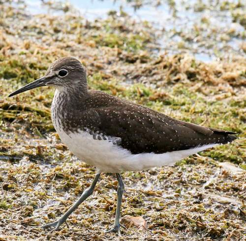 Indian birds - Photo of Green sandpiper - Tringa ochropus