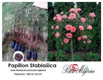 Papillon ruza stablasica