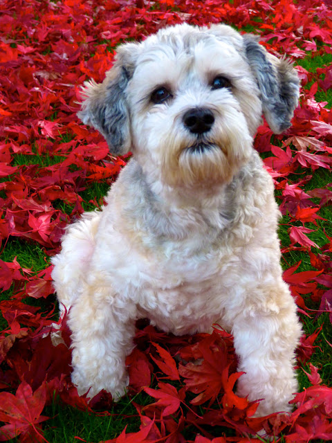 A beautiful white dog and red maple leaves