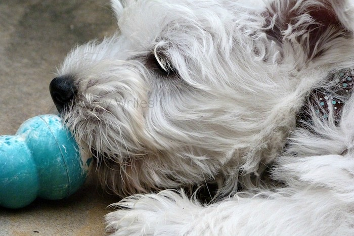 a picture of a westie with a Kong