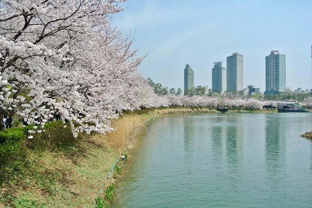 south korea corée du sud cherry blossom sakura jamsil seoul seokchon lake