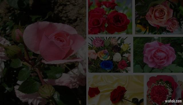 40 Gambar Foto Bunga Rose Untuk Wallpaper Ponsel
