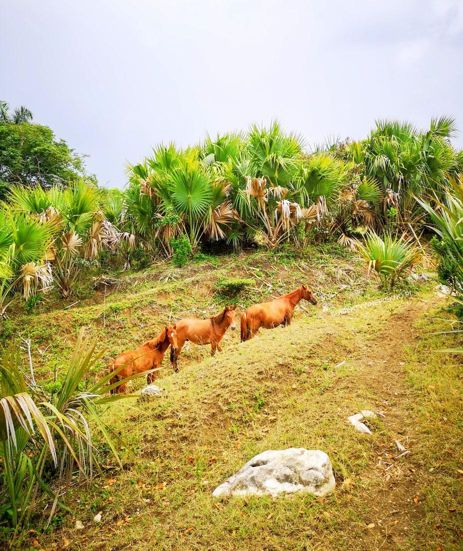 Dzikie konie Puerto Plata Dominikana
