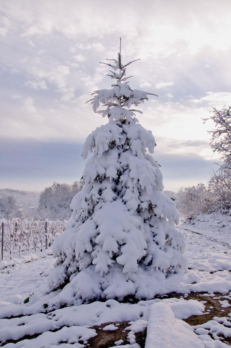 Snow covered Christmas tree,USA:   Shah Nasir Travel