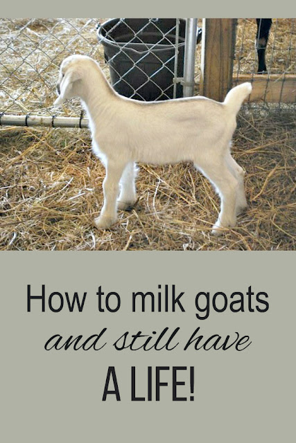 Yes, you can milk goats and still have a life! Here's how to milk once a day or even not at all!