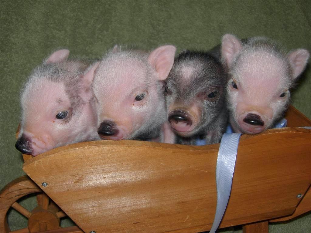 Hogs Deutsch