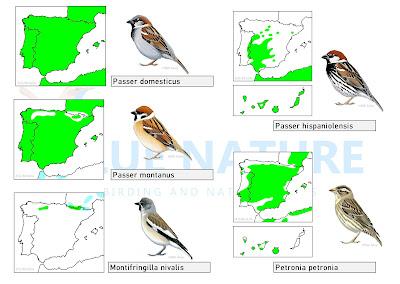Distribución de las 5 especies ibéricas de gorrión.