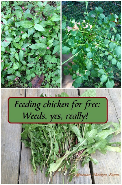 free chicken feed