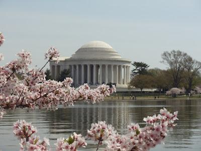 Jefferson Memorial during Cherry Blossom season