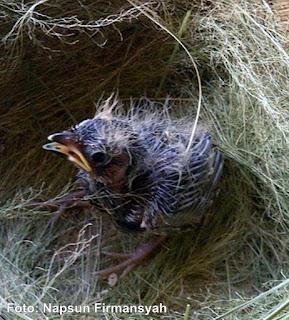 Burung Branjangan - Yang Memiliki Popularitas Sangat Bagus Untuk Ditangkarkan