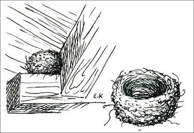 nido de Zorzal sabiá Turdus leucomelas