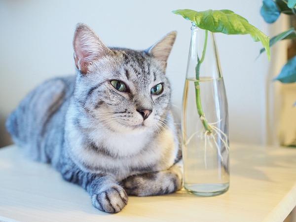 サバトラ猫とウンベラータ