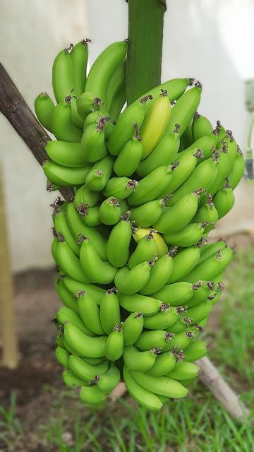 ผลกล้วยหอม