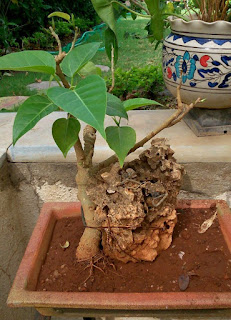 bonsai plants for sale in ahmedabad
