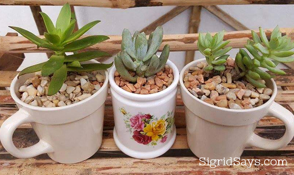 succulents in cute pots
