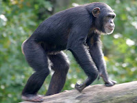 Chimpanze_Pan troglodytes pictures