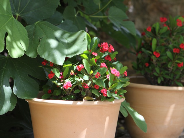 Pots under fig tree