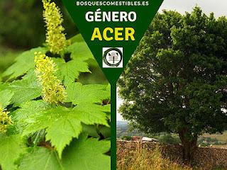 El género Acer son arboles muy apreciados por la calidad de su madera