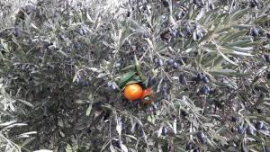 Olivo , mandarina, mandarino, injerto, empeltá, empelt, olivera