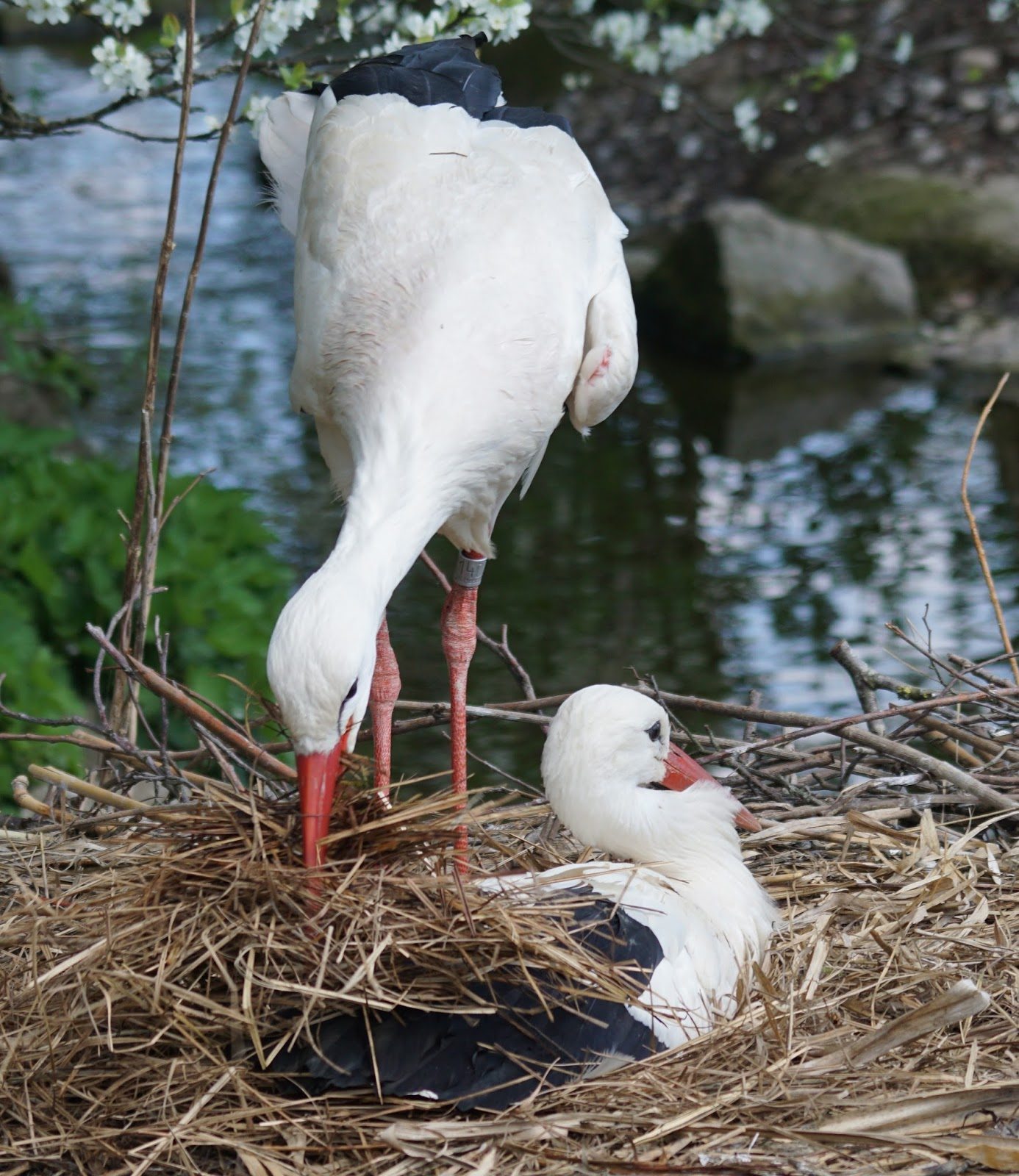 Picture of a stork bird building a nest.