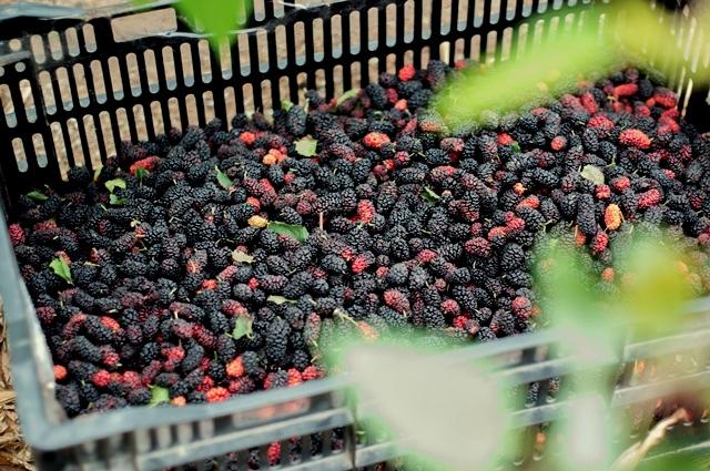 Mulberry: Summer starts in Hanoi 3