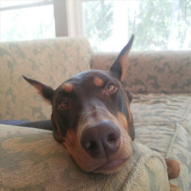 Doberman, dog