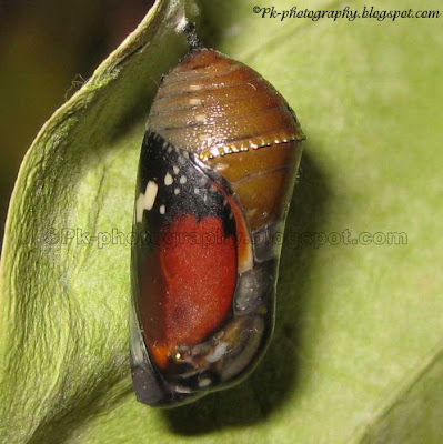 African Monarch Pupa