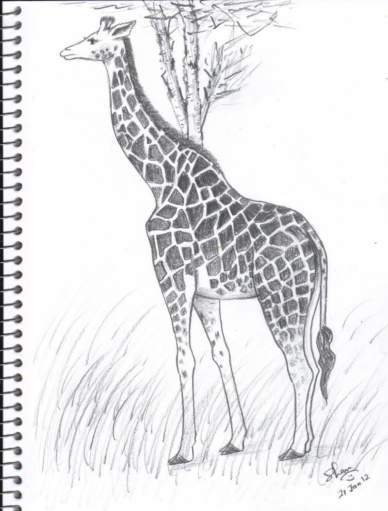 Shans art giraffe pencil sketch