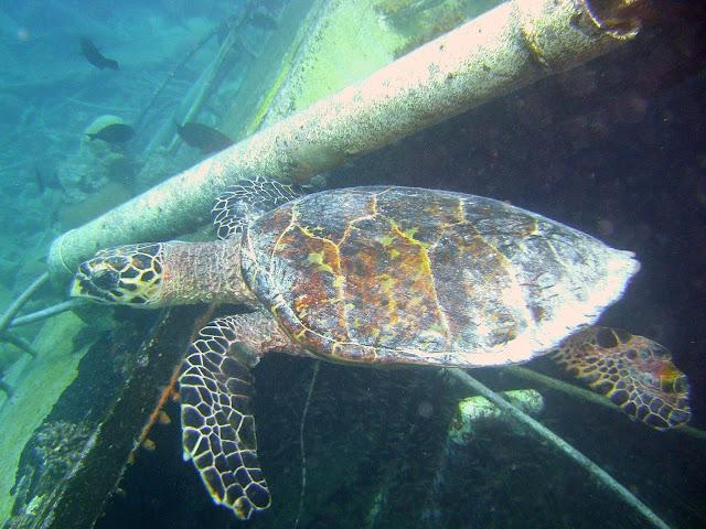 green turtle, chagos, salomon archipelago, diego garcia
