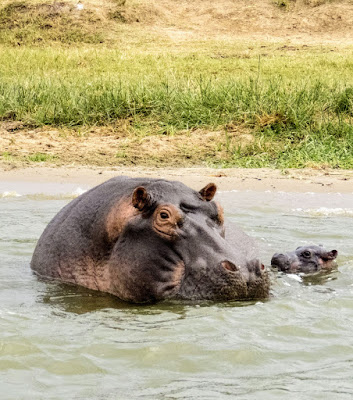 Mamma hippo and baby on the Kazinga Channel in Uganda
