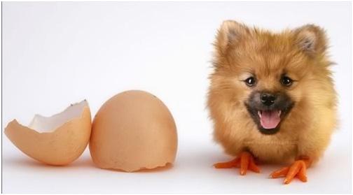 manipulasi telur dengan anak anjing