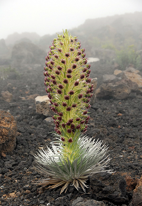 Hawaiian Silversword Alliance