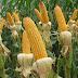 Estado de Sergipe registra maior safra de milho do Nordeste