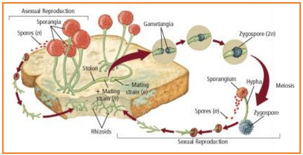 What form of asexual reproduction is shown here foto 10