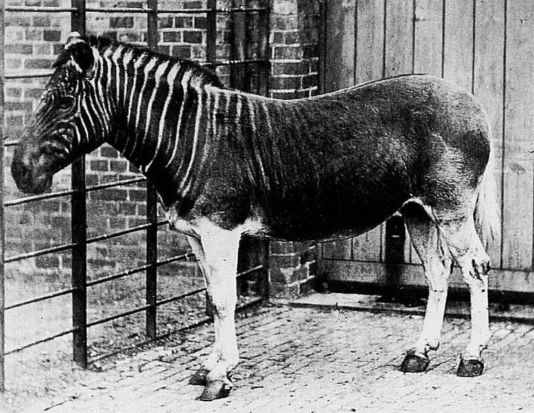 Image of a female quagga
