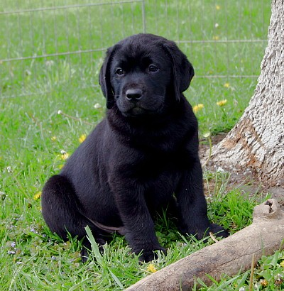 black lab golden retriever goldens retrievers golden retriever black lab mix puppies 3442