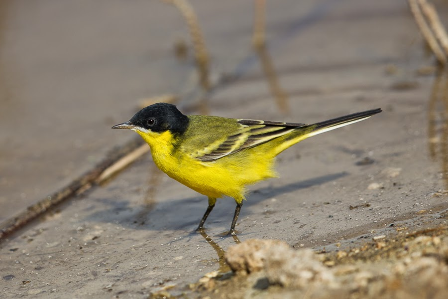 Eastern Black-headed Yellow Wagtail melanogrisea