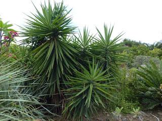Yucca éléphantesque - Yucca Pied d'Eléphant - Yucca géant - Yucca gigantea - Yucca elephantipes