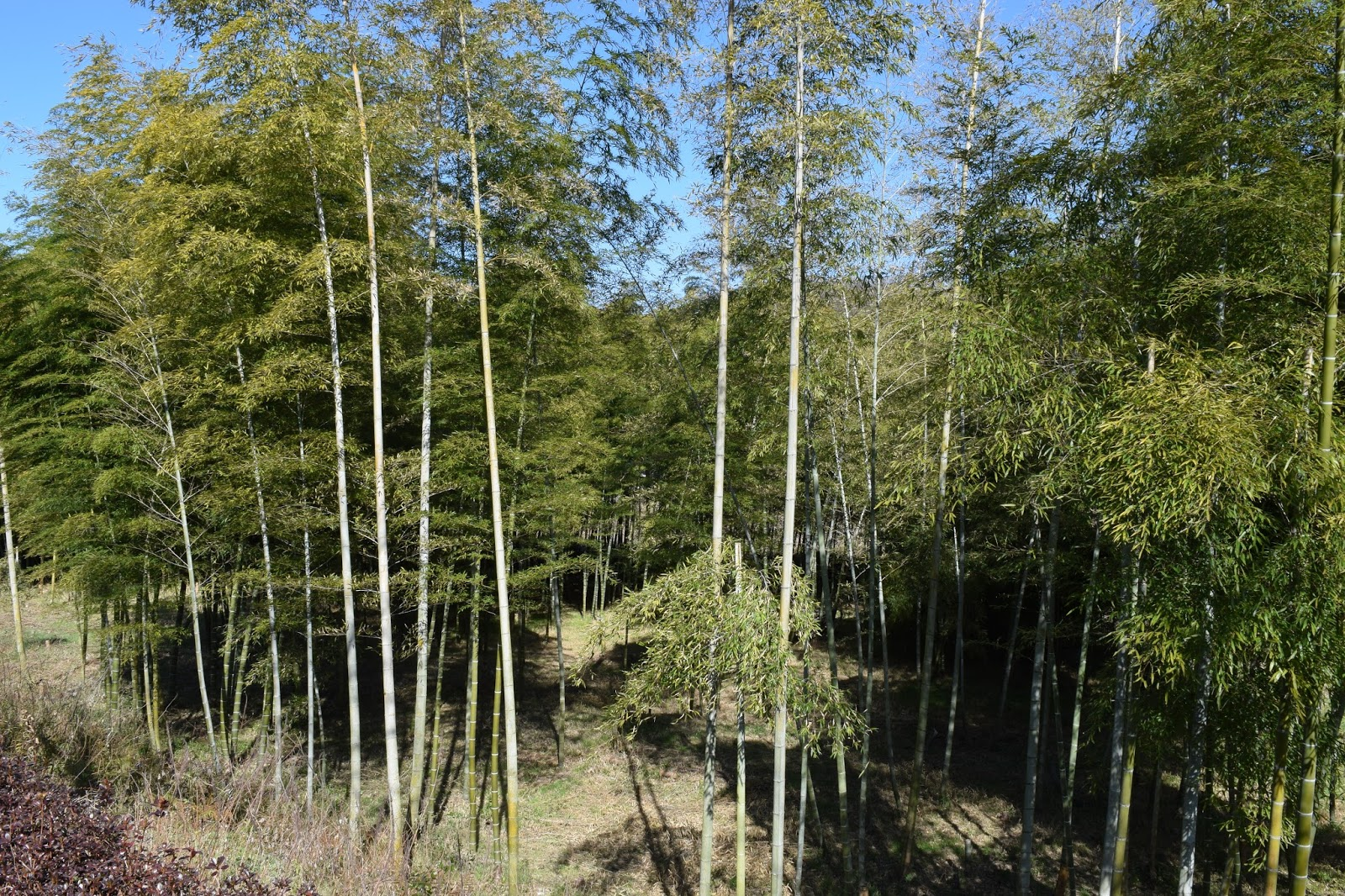 bamboo grove in Iwakuni