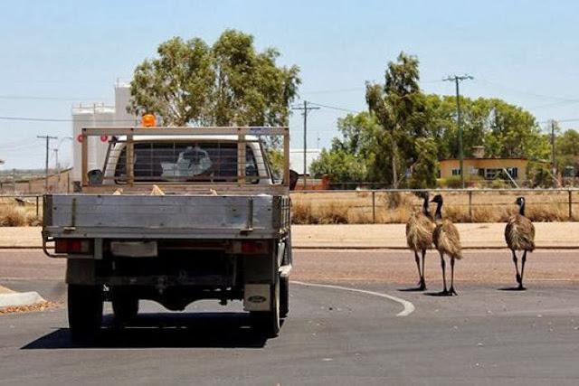 Segerombolan Burung Emu Bikin Macet Jalanan di Australia Segerombolan Burung Emu Bikin Macet Jalanan di Australia