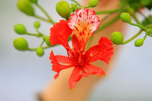 bong hoa phuong