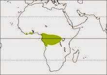 African piculet Verreauxia africana