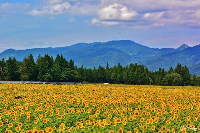 Tsunan Sunflower Field
