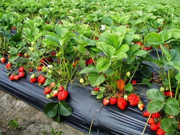 buahan sehat yang elok dikonsumsi untuk banyak sekali manfaat kesehatan badan 11 Manfaat Strawberry bagi kesehatan Tubuh