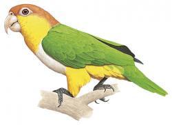 Black legged Parrot